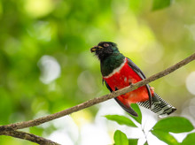 A Collared Trogon Perches On A Branch In The Rainforest Feeding On An Insect.