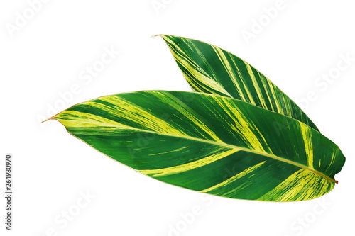 Green and yellow leaves nature pattern of variegated ginger or shell ginger (Alpinia zerumbet variegata) tropical foliage plant isolated on white background, clipping path included Canvas Print