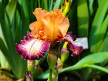 Beautiful Yellow-purple Iris In Sunny Day - Detail On Flower