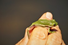American Green Tree Frog Is On...