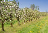 Fototapeta Coffie - Blooming apple orchard on a sunny day