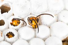 Alive Baby Asian Hornet In Nes...