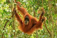 Female Sumatran Orangutan Hang...