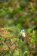 Eurasian Blue Tit Sitting On A Tree Branch