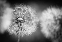 Closeup Of Dandelion On Natura...