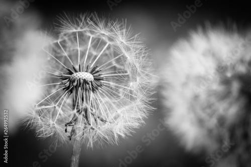 Obraz Closeup of dandelion on natural background. Bright, delicate nature details. Inspirational nature concept, soft blue and green blurred bokeh backgorund - fototapety do salonu