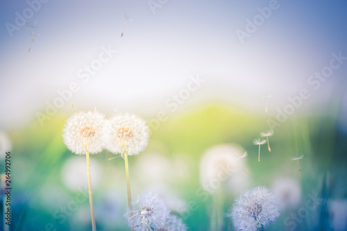 Foto op Canvas Cappuccino Abstract closeup of dandelion flowers and sunset meadow field, blur and dream nature background. Inspirational nature concept, springtime and happy mood