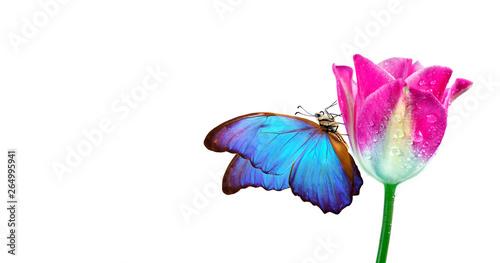 Fototapeta  Beautiful blue morpho butterfly on a flower on a white background