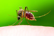 canvas print picture - Encephalitis, Yellow Fever, Malaria Disease or Zika Virus Infected Culex Mosquito Parasite Insect Macro on Green Background