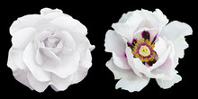 Tender White Rose And Peony Fl...