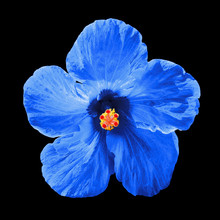 Blue Hibiscus Syriacus Flower Isolated On Black Background.  Chinese Rose. Flat Lay, Top View. Macro Object