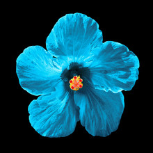 Cyan Hibiscus Syriacus Flower Isolated On Black Background.  Chinese Rose. Flat Lay, Top View. Macro Object
