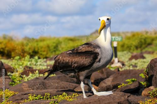 Obraz na plátne Waved albatross on Espanola Island, Galapagos National park, Ecuador