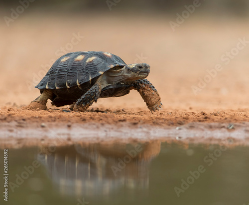 Poster Tortue Desert Tortoise in Southern Texas