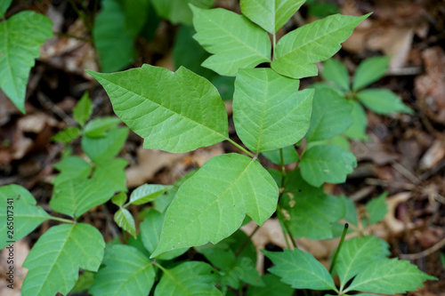 Closeup of wild poison ivy plant (devil's mittens) in a forest Canvas Print