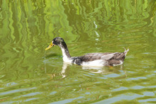 Indian Runner Duck (Anas Platy...