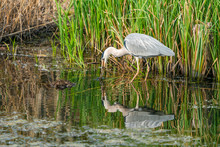 Grey Heron (Ardea Cinerea) Standing In The Water Having Caught A Frog - Closeup With Selective Focus