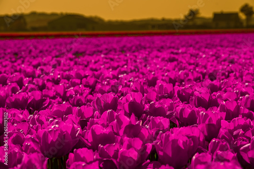 Montage in der Fensternische Rosa field of pink tulips