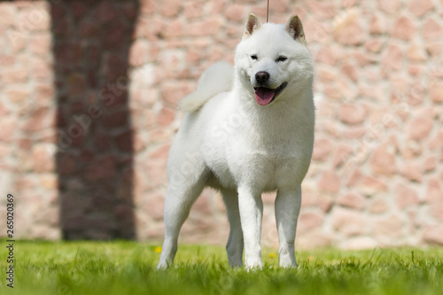 Photographie hokkaido dog for a walk