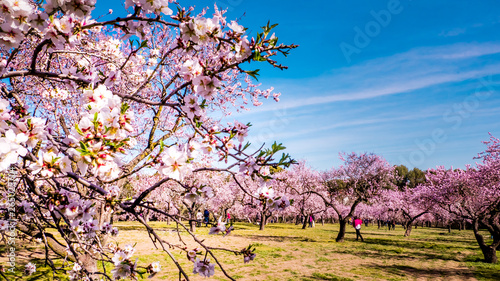 Close up of almond trees pink flowers in bloom with people chilling out between almond trees in the background at Quinte de los Molinos city park downtown Madrid, Spain Canvas Print