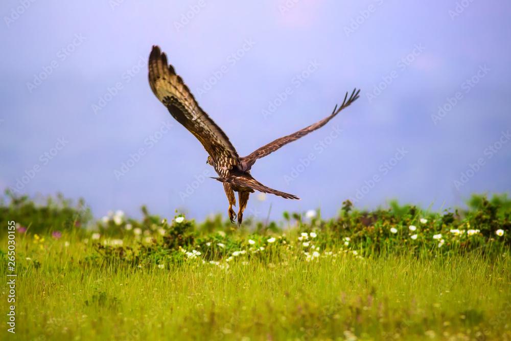 Fototapeta Birds of prey. Buzzard; European Honey Buzzard. Pernis apivorus.. Nature background.