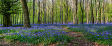 Forest Full Of Bluebells Flowers