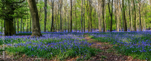 Fotografie, Obraz Forest full of bluebells flowers