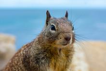 Ground Squirrel Portrait On Co...