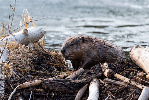 A large beaver climbing out of beaver pond Canvas Print