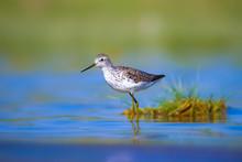Water Bird Sandpiper. Nature Background. Bird:Marsh Sandpiper. Tringa Stagnatilis.