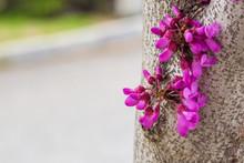 Purple Bauhinia Outdoors,Cer...
