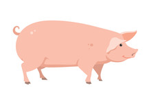 Cartoon Pig, Vector