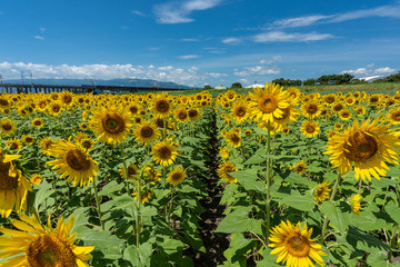 The country road surrounded full blooming sunflowers with blue sky and clouds