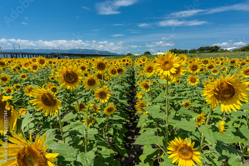 Obraz The country road surrounded full blooming sunflowers with blue sky and clouds - fototapety do salonu