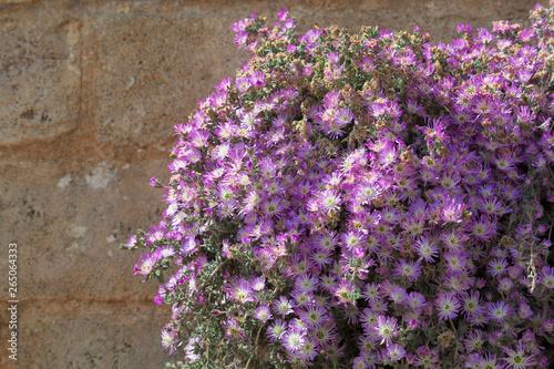 Fiori Viola Con Sfondo Muro Buy This Stock Photo And Explore