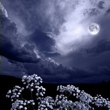 Summer Moon Night In The Bloss...