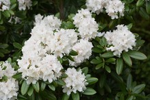 Rhododendron White Blossoms Is Elegant And Beautiful.