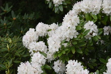 Rhododendron White Blossoms Is...