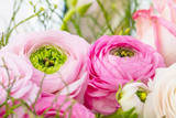Persian buttercup. Bunch pale pink ranunculus flowers light background. Wallpaper, Horizontal photo .