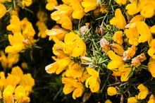 Dartmoor, Devon, Ginster, Heideginster, Schmetterlingsblütler, Wanderweg, Moor, Heidelandschaft, Frühling, Südengland