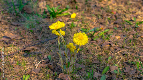 Vászonkép The medical flower of a coltsfoot in April