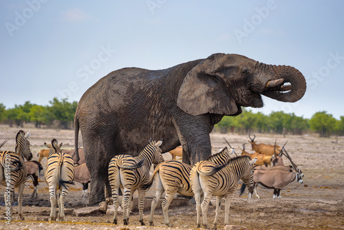 Fotografie, Tablou African elephant drinks water in Etosha National Park surrounded by zebras