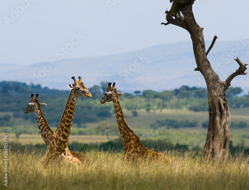 Fototapety, obrazy: Giraffes are lying and resting on the grass in the savannah. Kenya. Tanzania. East Africa.