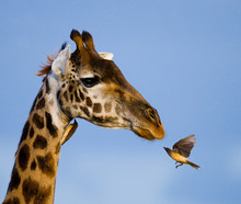 Giraffe With Bird. Kenya. Tanz...
