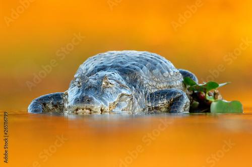 Yacare Caiman, crocodile with fish in with open muzzle with big teeth, Pantanal, Brazil Canvas-taulu
