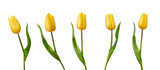 Fototapeta Tulipany - A collection of yellow tulip flowers isolated on a white background