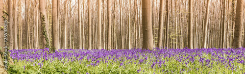 Panoramic view of wild bluebells in the woods Canvas Print