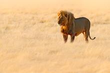 Lion Walk. Portrait Of African...