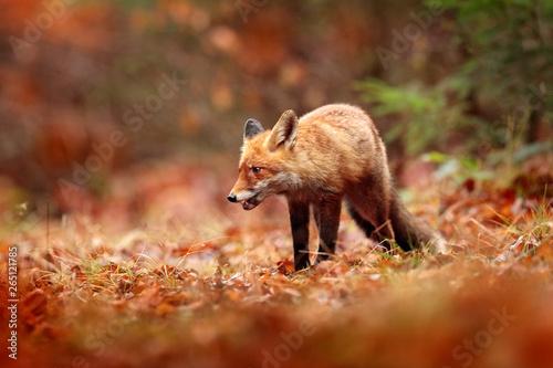 Red fox running on orange autumn leaves  Cute Red Fox, Vulpes vulpes