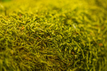 Close Up Of Moss On Tree. Nature Life Background